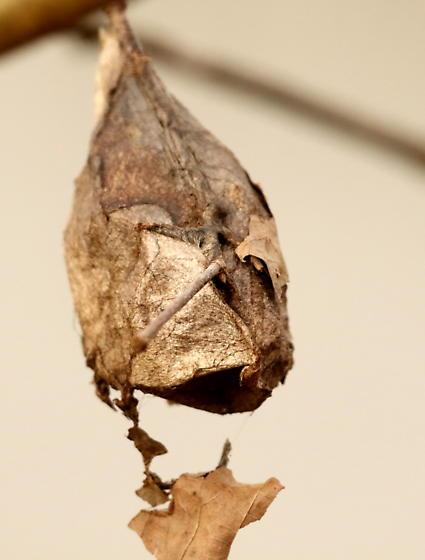 Cecropia moth - Hyalophora cecropia