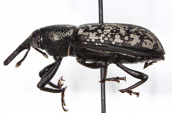 Yuccaborus frontalis
