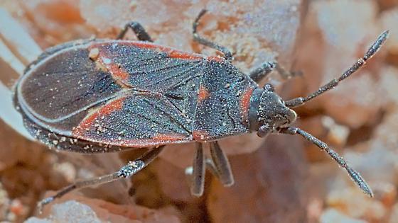 Bug ~6mm - Melacoryphus