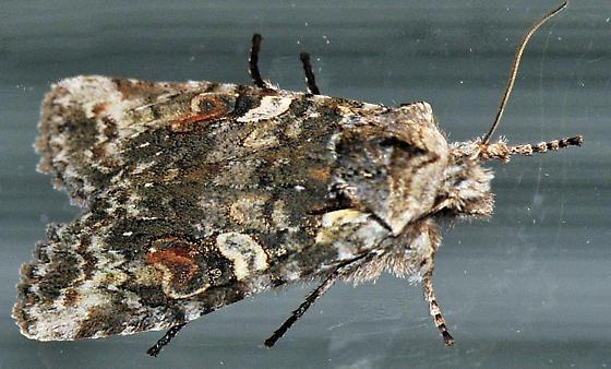 Mystery Moth-5 - Lithophane baileyi