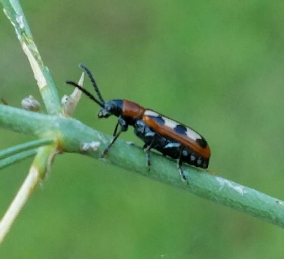 Multi-colored Bug in Garden - Crioceris asparagi