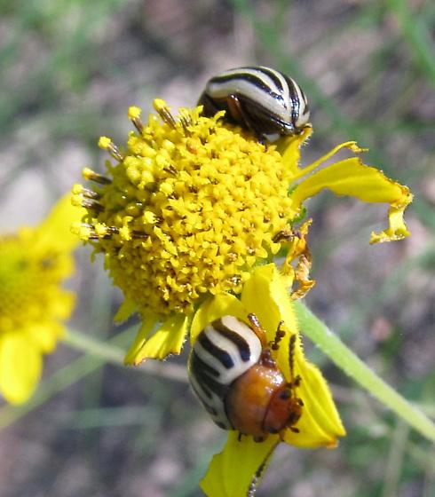 unkn beetle - Zygogramma continua