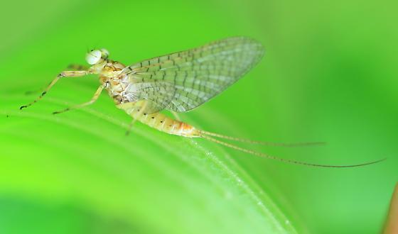 Maccaffertium maybe? - Maccaffertium mediopunctatum - male