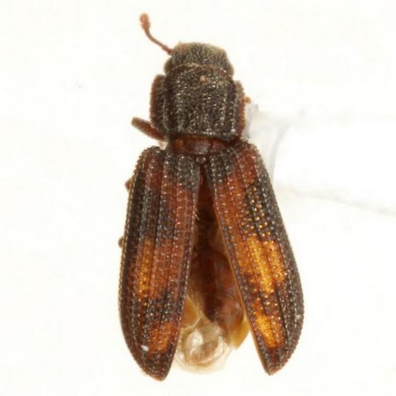 Bitoma quadriguttata (Say) - Bitoma quadriguttata