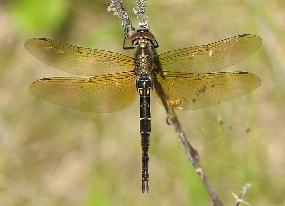 Brush-tipped Emerald - Somatochlora walshii - female