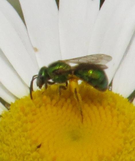 possible green metallic sweat bee (Augochloropsis metallica)  - Augochlorella aurata