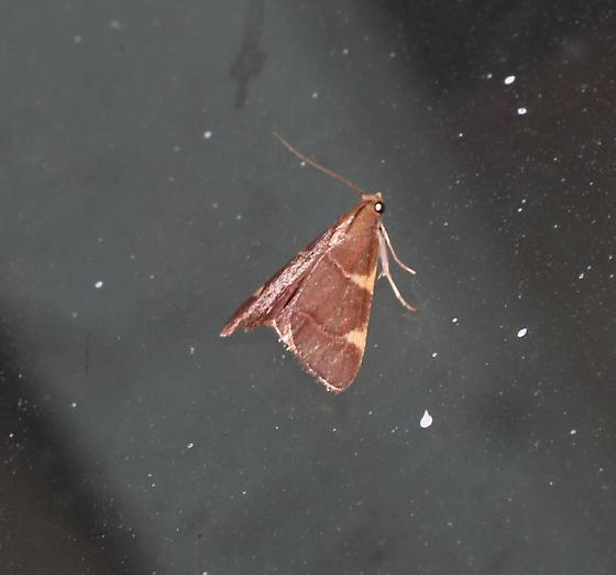 Hypsopygia posslbly costalis - Hypsopygia olinalis