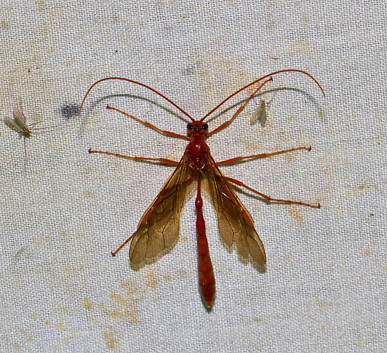 Night bettle - Enicospilus