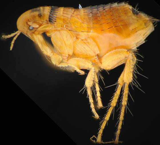 Flea 2 of 2, lateral