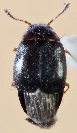 Small Staphylinid?  - Proteinus