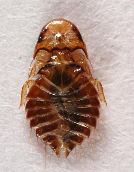 Louse - Chelopistes meleagridis