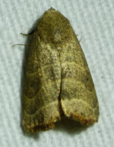 Bagisara repanda - Wavy Lined Mallow Moth - Bagisara repanda