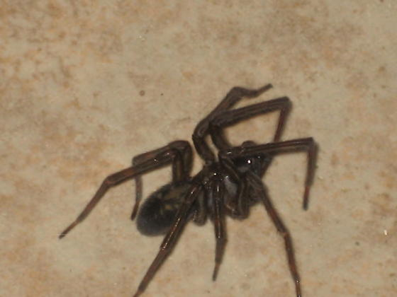 HELP - What type of spider is this?!? - BugGuide Net