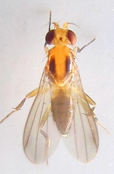 Yellow fly with dark lengthwise marks on thorax - Sobarocephala setipes