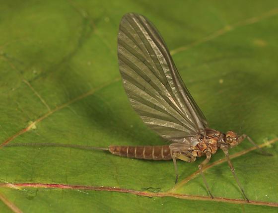 Mayfly - Baetis tricaudatus
