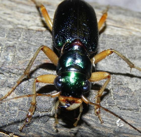 TX lg Green Tiger Beetle species? - Tetracha virginica