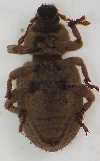 Weevil - Cathormiocerus curvipes
