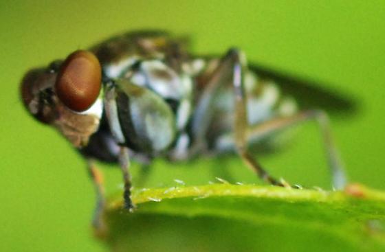 shore fly - Ochthera