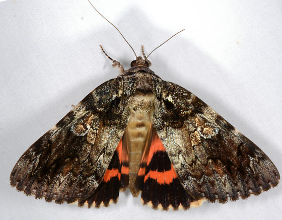 which underwing - large species - Catocala ilia