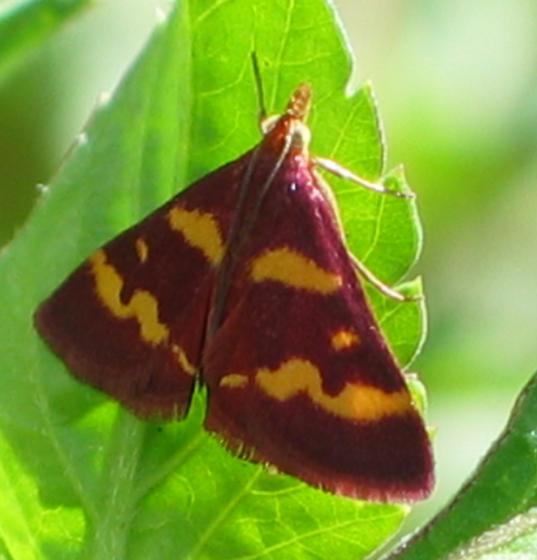 Pyrausta sp. (tyralis?) - Pyrausta tyralis