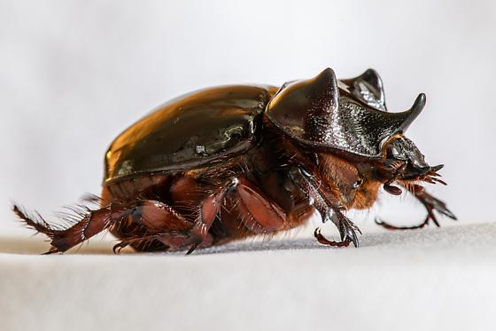 Minor Male Strategus aloeus? - Strategus antaeus - male
