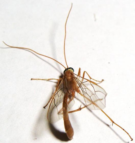 Ichneumon wasp - Ophioninae (americanus complex) - Enicospilus