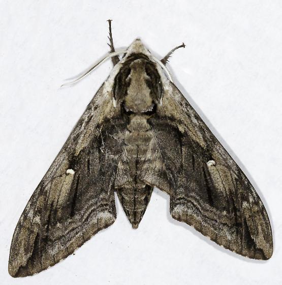 Hawkmoth - Ceratomia amyntor