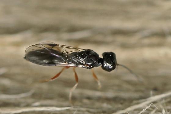 parasitic wasp - Vanhornia eucnemidarum