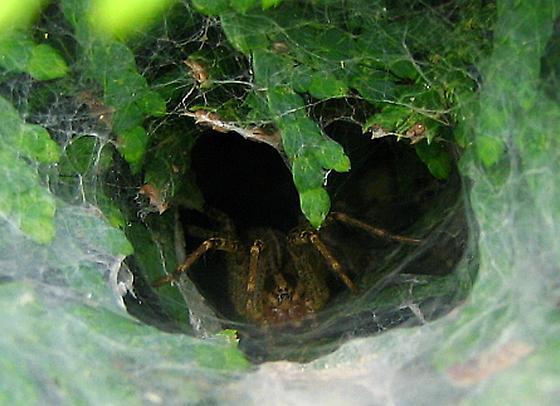 Funnel-Web Spider - Agelenopsis