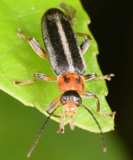 Beetle - Osphya varians