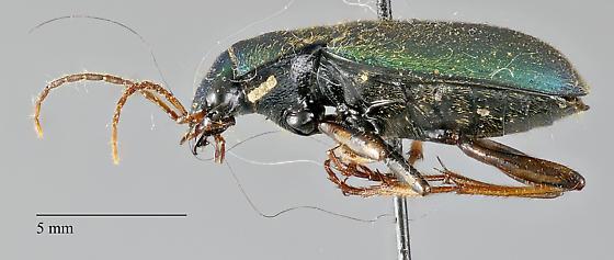 Carabidae: Chlaenius sericeus - Chlaenius sericeus