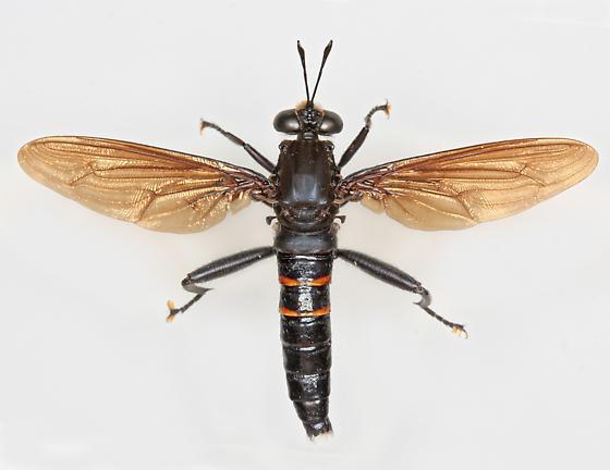 BG2804 E7556 - Mydas chrysostomus - male