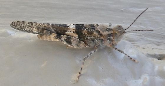 Acrididae A 4.3.19 - Trimerotropis pallidipennis - male
