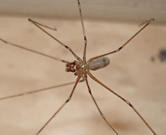 long bodied cellar spider pholcus phalangioides pholcus