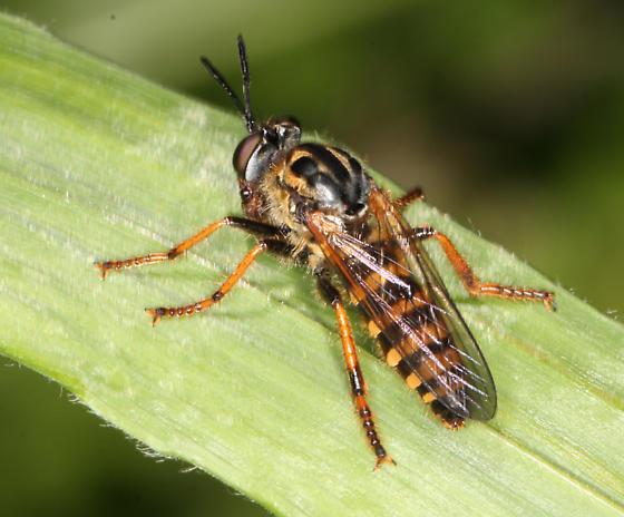 Asilidae, dorsal - Ceraturgus cruciatus