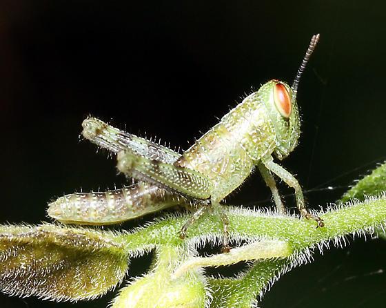 Grasshopper nymph - Schistocerca