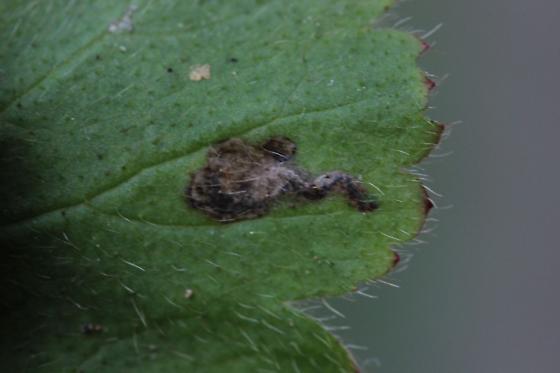 Unid Leafminer DWWgc1 - Metallus lanceolatus