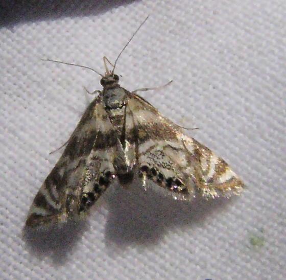 moth - Petrophila canadensis