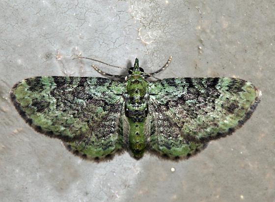Green Pug - Pasiphila rectangulata