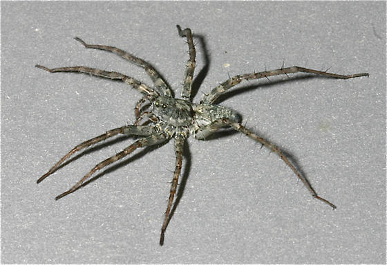 Pardosa vadosa - female