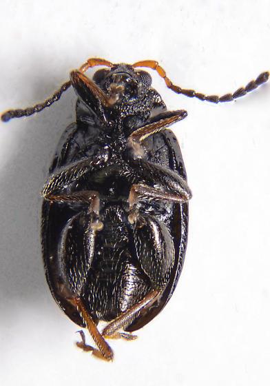 Tiny flea beetle - Alticini? - Phyllotreta denticornis - female