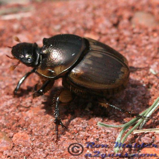 Beetle - Digitonthophagus gazella
