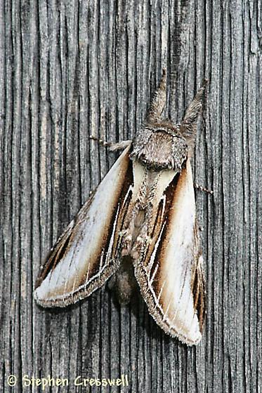 Black Rimmed Prominent - Pheosia rimosa