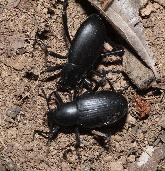 Desert Stink Beetles - Eleodes