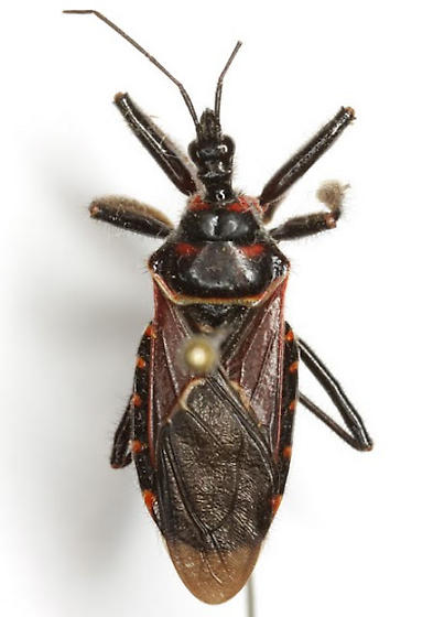Apiomerus montanus Berniker & Szerlip - Apiomerus montanus