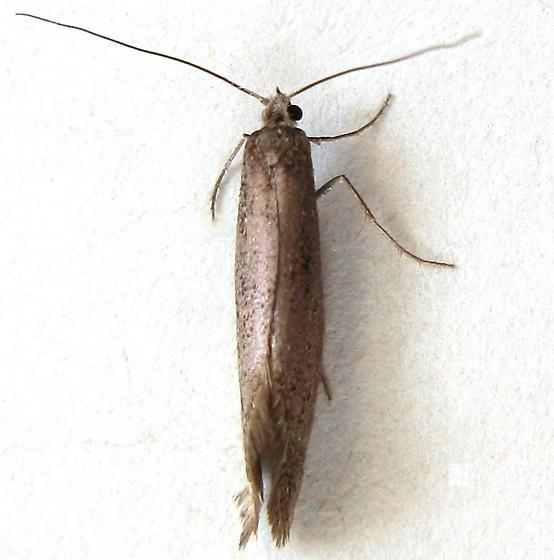 Pyramidobela Moth - Tridentaforma