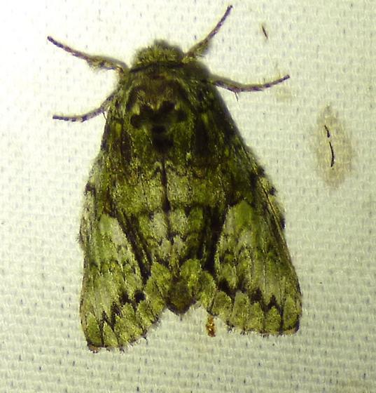 Hyperaeschra georgica - Georgian Prominent - Paraeschra georgica
