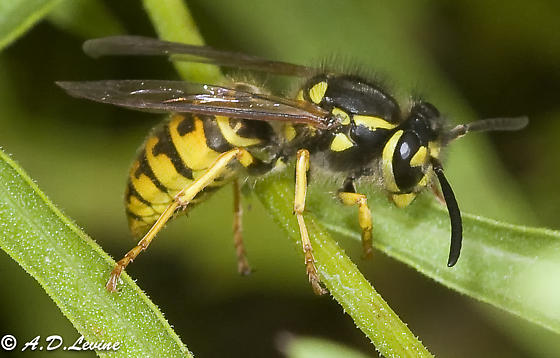 another syrphid? - Vespula germanica - female