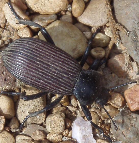 Ground beetle id - Eleodes obscura