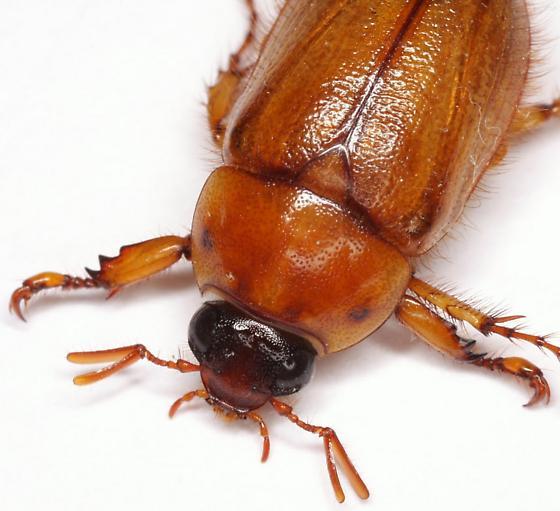 Cyclocephala borealis Arrow - Cyclocephala borealis